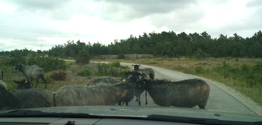Långsamma lamm på vägen