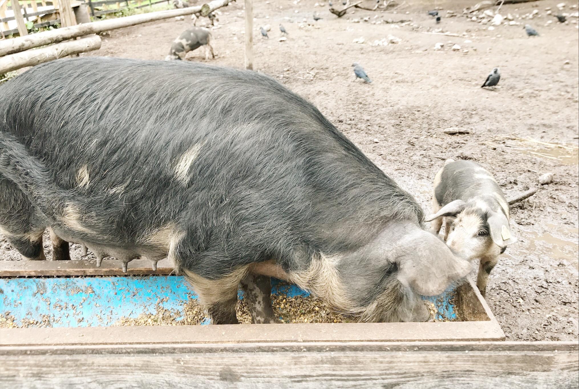 Skälby 4H-gård - grisar